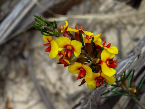 Native pea flowers add yellow and red to dull bushland