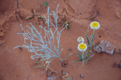 Native plant and wildflowers in sand dune