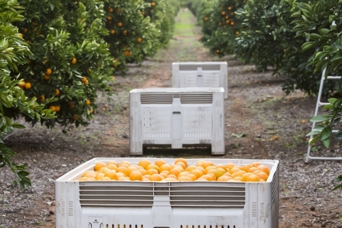 Navel oranges with bins, trees and ladder in background