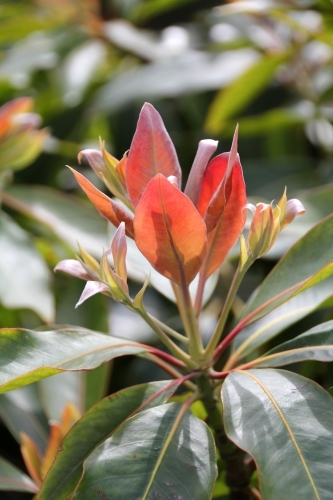 New growth on rhododendron shrub