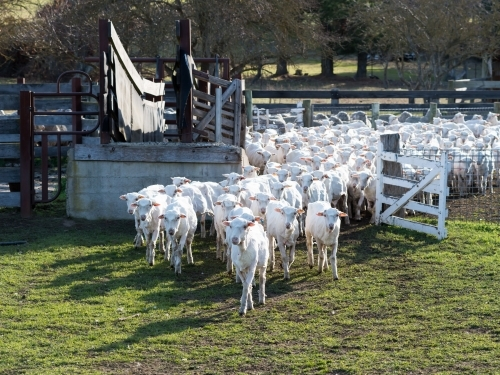 Newly shorn sheep leaving their pen through a gate