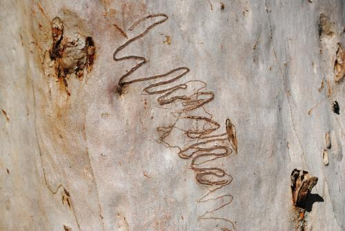 Scribbly Gum Tree with scribbles made by larvae of the scribbly gum moth (Ogmograptis scribula)