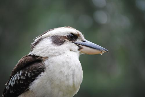 Close up photo of  a kookaburra