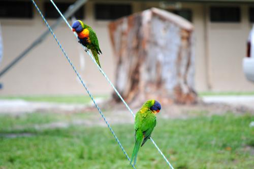 Two Rainbow lorikeets sitting on a guy rope at a campsite