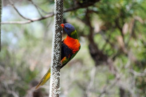 Rainbow Lorikeet feeding on the flower spike of a grass tree (Xanthorrhoea)