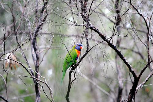 Rainbow lorikeet in the bush