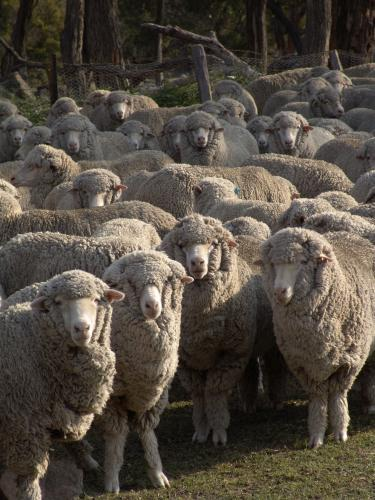 Mob of sheep looking directly at the camera