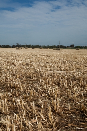 Oat straw stubble in paddock and distant hay bales