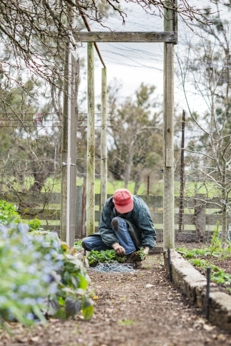 Older Man Working In Vegetable Garden