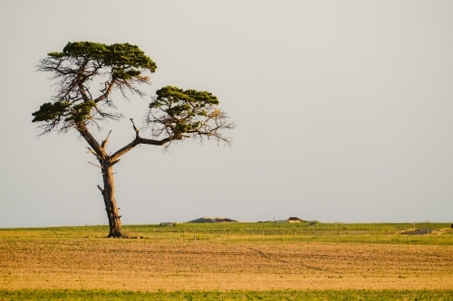 One lone tree in a farm scene