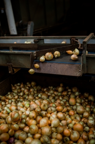 Onions being graded