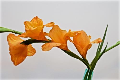 Orange gladioli flower in a vase