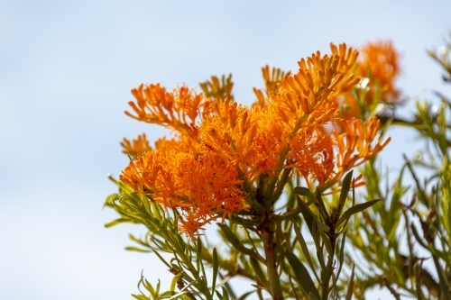 Orange Nuytsia floribunda blossom