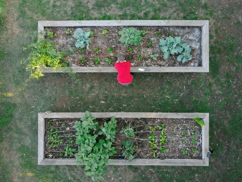Overhead view of gardener planting seedlings in raised garden bed