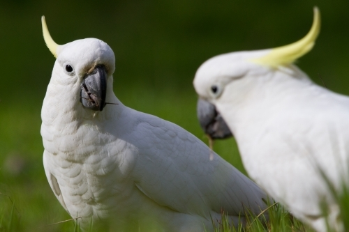 Pair of Cockatoos Feeding on the Ground