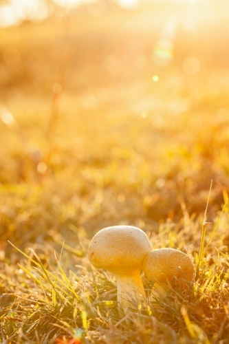 Pair of toadstools growing in the lawn backlit by golden light