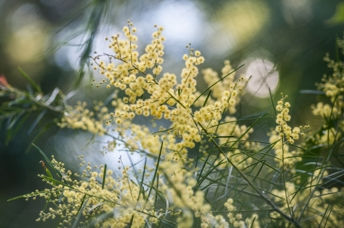 Pale golden wattle blossoms