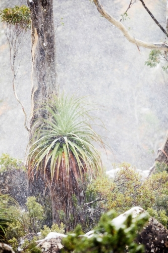 pandani and gum tree in snowy landscape