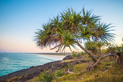 Pandanus tree on the coastline at sunset.