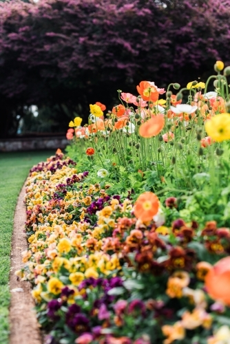 Pansy and poppy flowers in brightly coloured flowerbeds