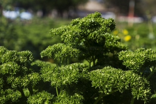 Parsley crop