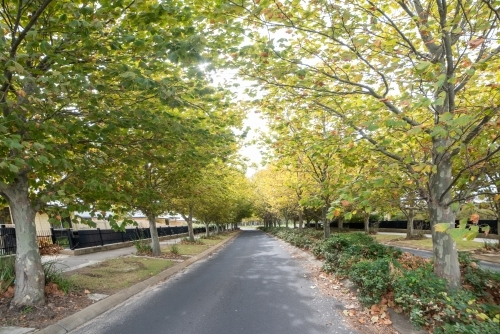 Pathway of autumn trees along a suburban road