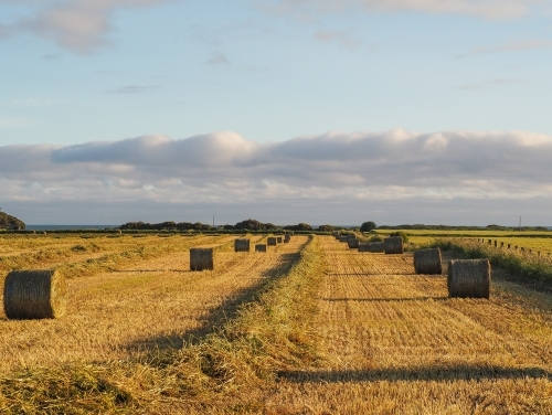 Paddock of fresh hay bales in the golden light
