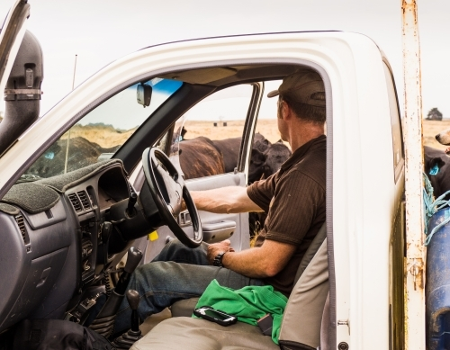 Farmer checking agistment stock in paddock from ute