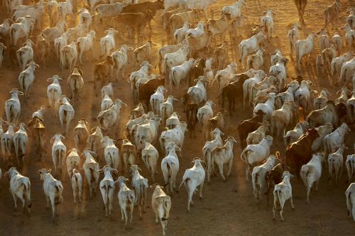 Aerial view of cattle walking through dust in early morning light.