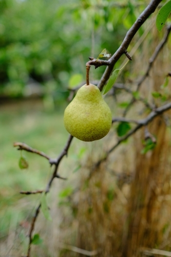 Pear growing on a tree in an organic farm