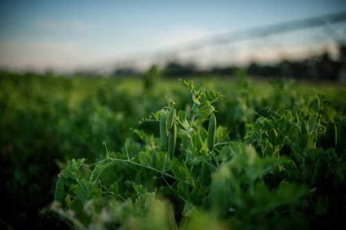 Peas Growing in paddock