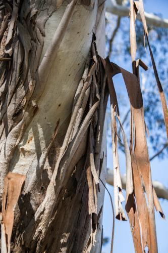 Peeling bark hanging in strips off a gum tree