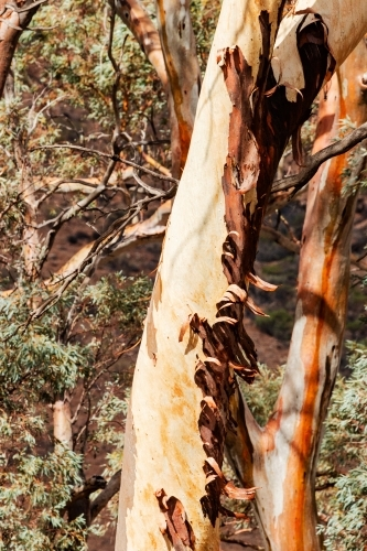 peeling bark on gum tree trunk