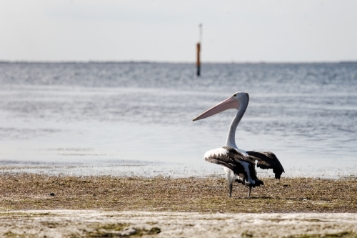 pelican standing in a shallow bay