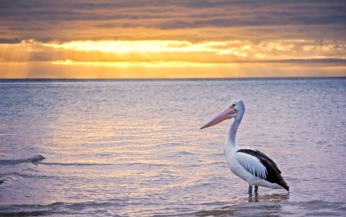 Pelican standing in seawater with the sun rising in background