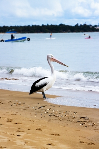 pelican standing on shoreline of busy bay
