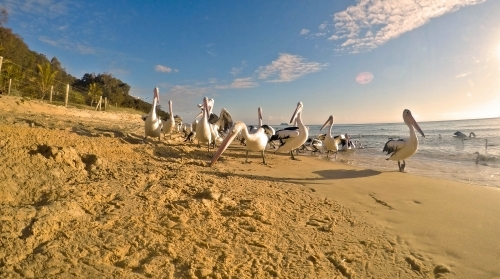 Pelicans by the sea