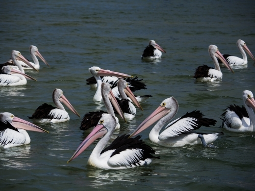 Pelicans gathering for a feeding