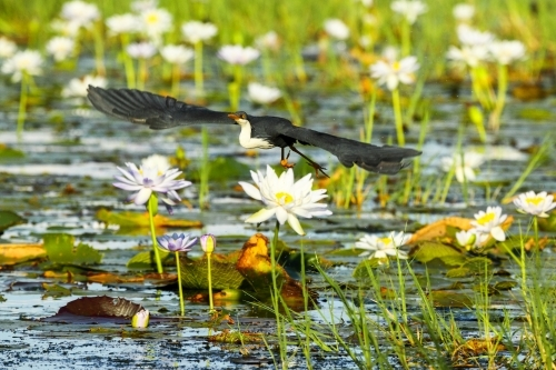 Pied Heron in flight above water lily plants.