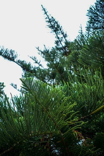 Pine tree leaves