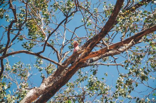 Pink and grey Galah in a gumtree