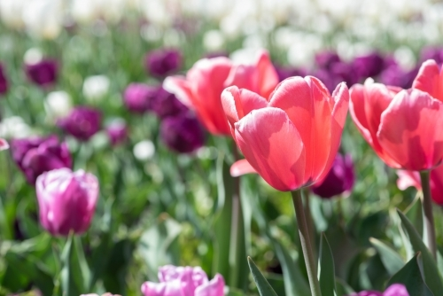 Pink and purple tulips in a field