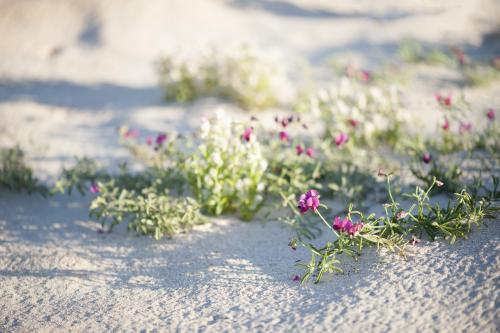 pink and white wildflowers on beach with crab prints