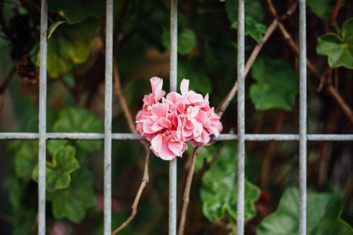 Pink Flower growing through fence