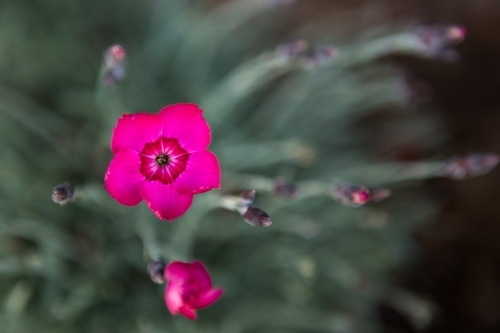 Pink flower with faded background