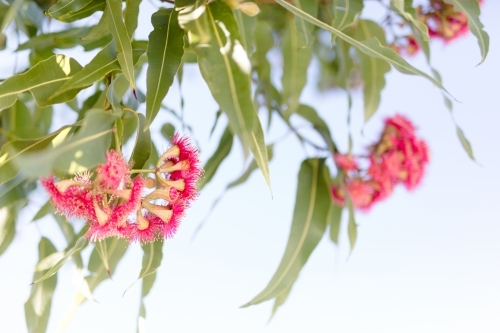Pink flowering corymbia gum tree with sun flare