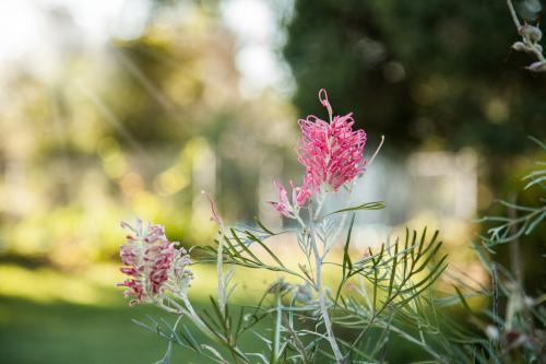 Pink grevillea flowers in the early morning