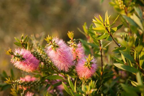Pink native bottlebrush flowers on bush in afternoon light