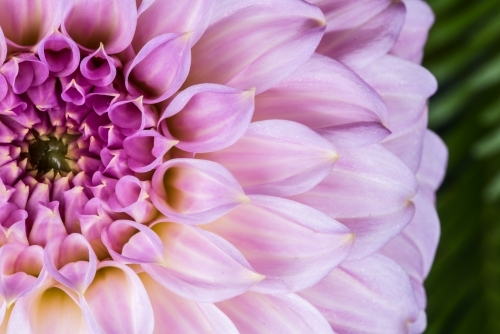 Pink purple dahlia close up