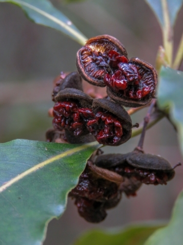 Wild Pittosporum fruit and red seeds ready to be eaten by birds and insects